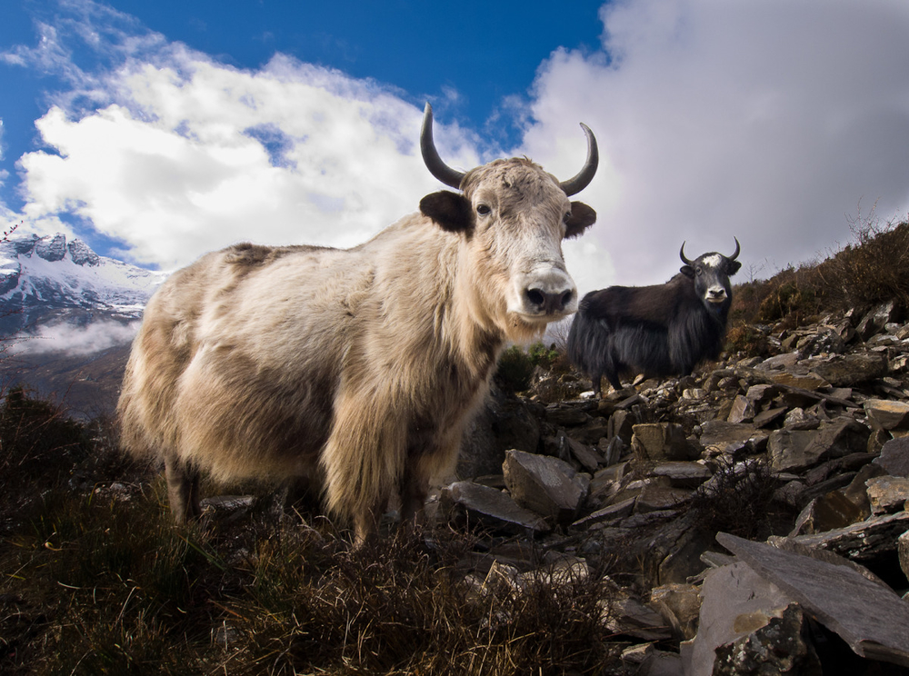 Mountain yaks?