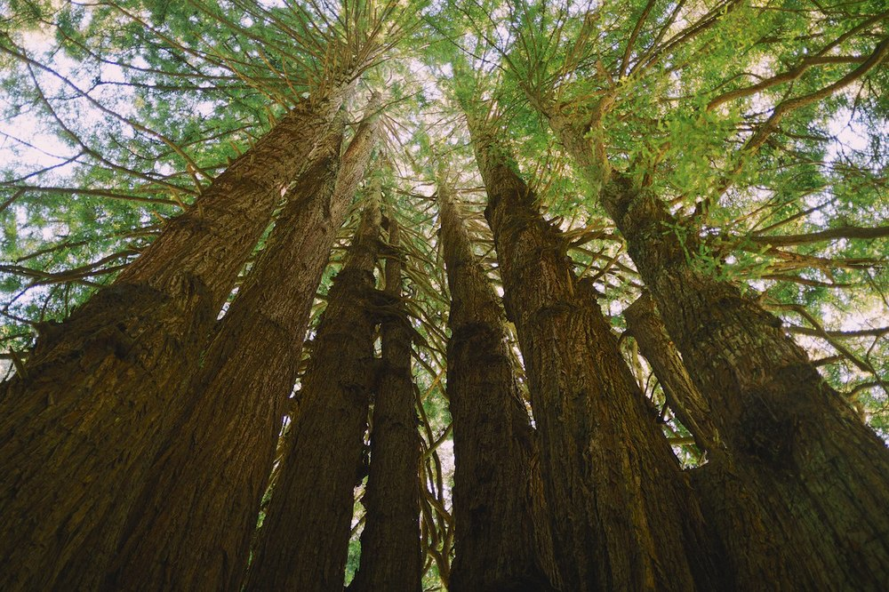 Redwood-Trees 003.jpg