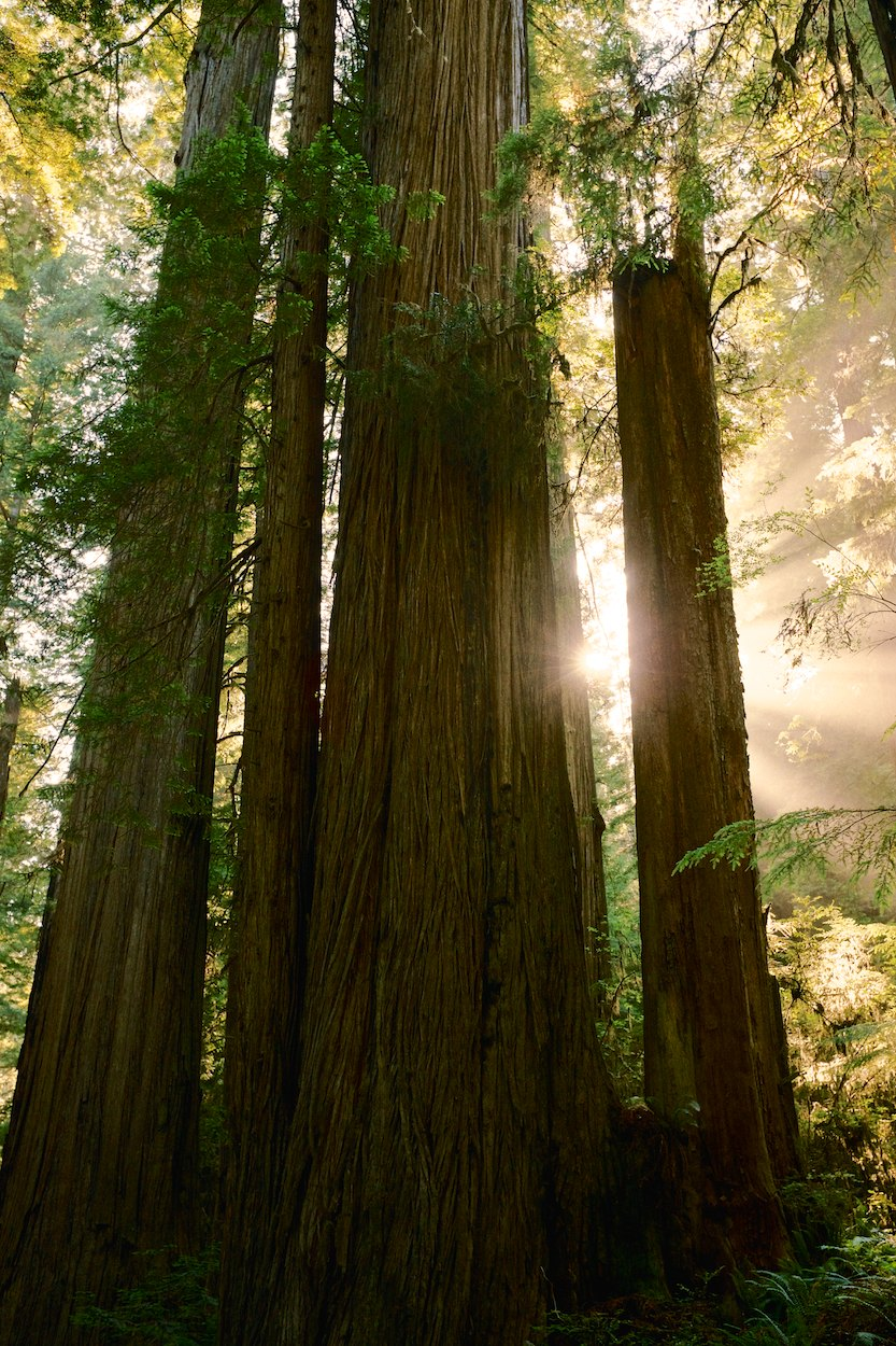 Redwood-Trees 005.jpg