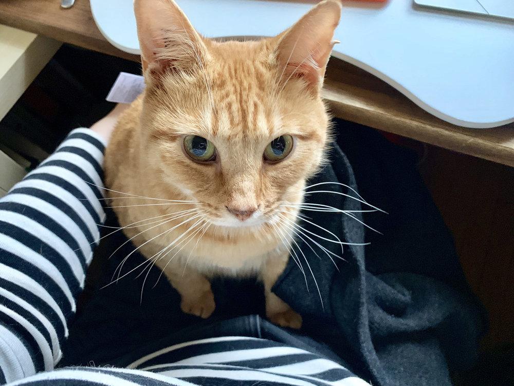 an orange tabby sitting on my lap facing me