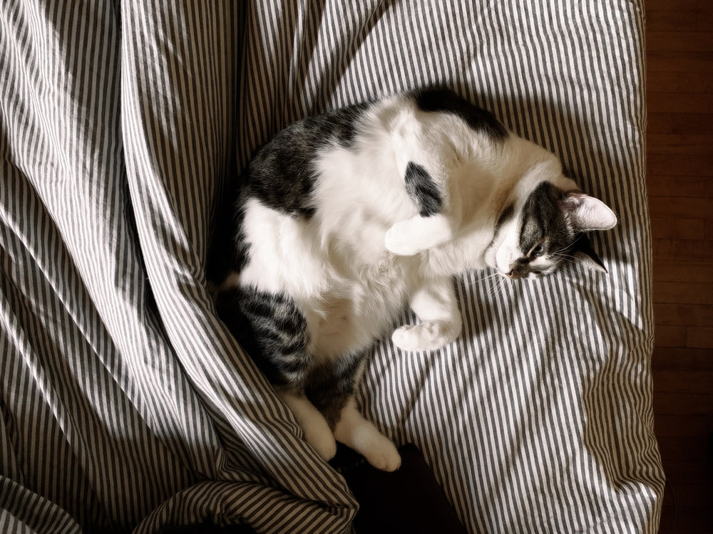 a top-down view of a white and tabby kitty curled up on the bed