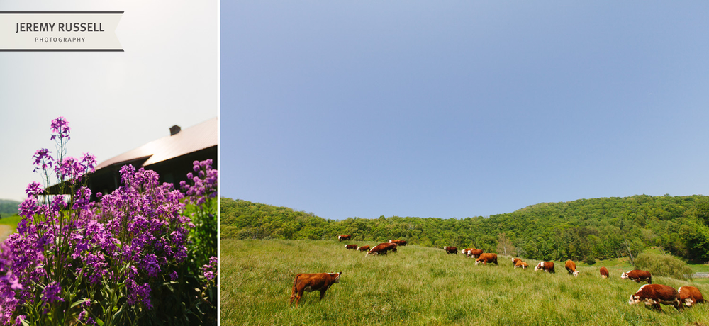 Cows and flowers at Claxton Farm