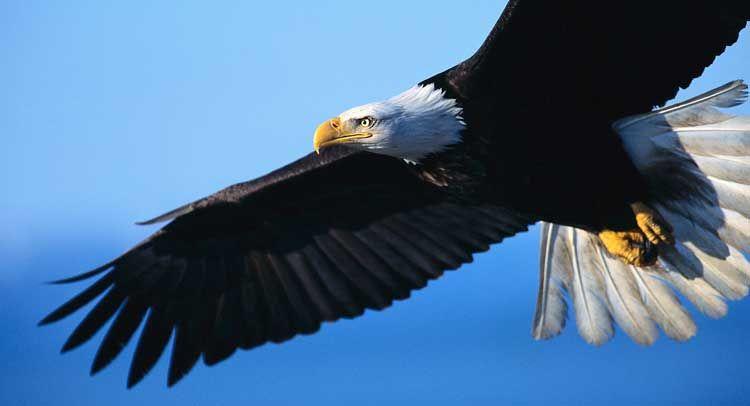 Native American Tribe Gets Permit to Kill Bald Eagles...