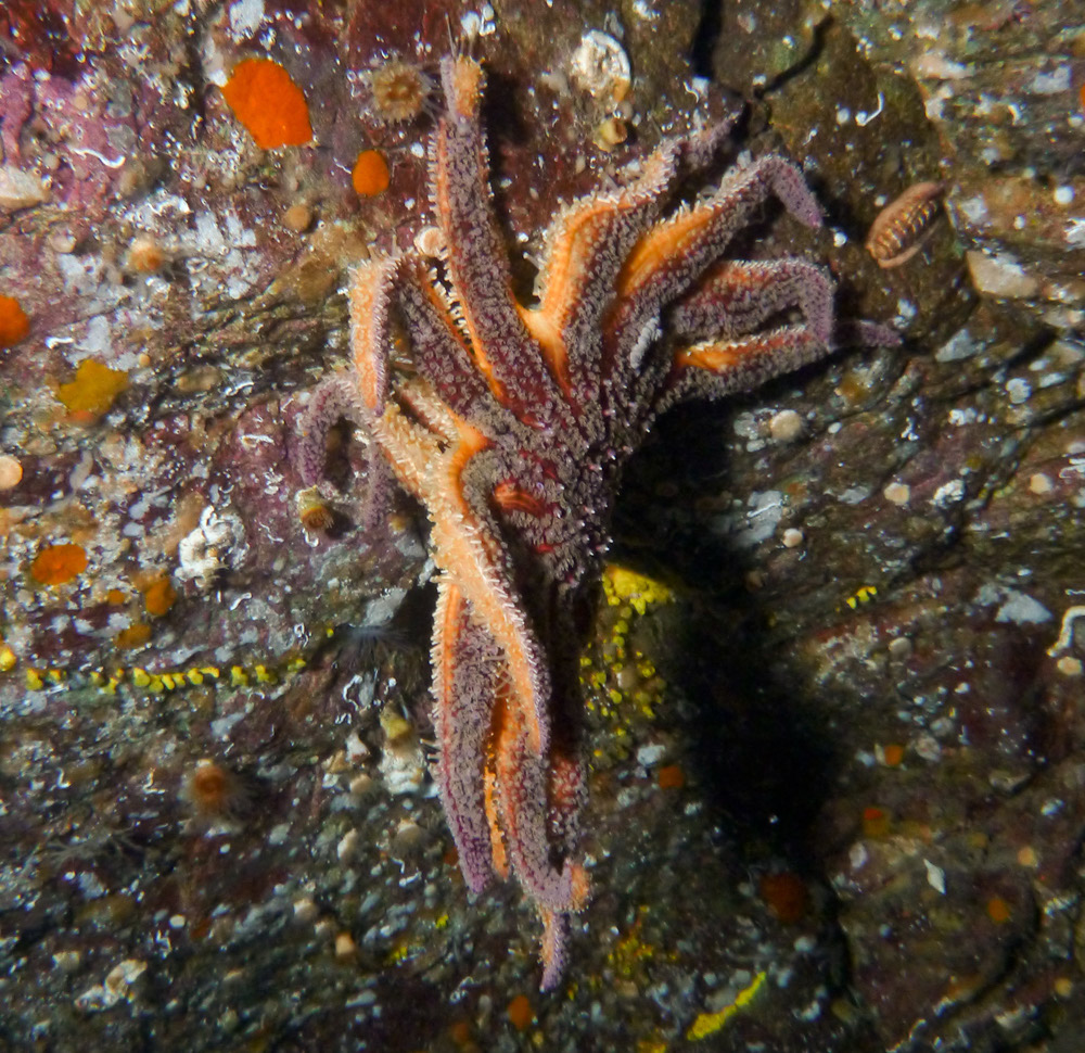 """Alarming"" mass die-off of starfish in areas along Canada's Pacific coast — ""They've disintegrated, now there's just goo left"" — ""Appeared to melt"" — ""Single arms clinging to rock faces, tube feet still moving"" — Similar reports as far away as California."