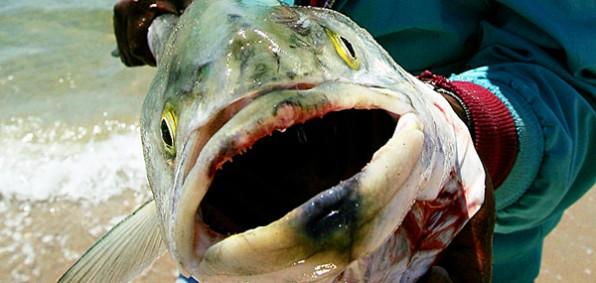 bluefin-tuna-radiation-poisoning-600-596x283.jpg
