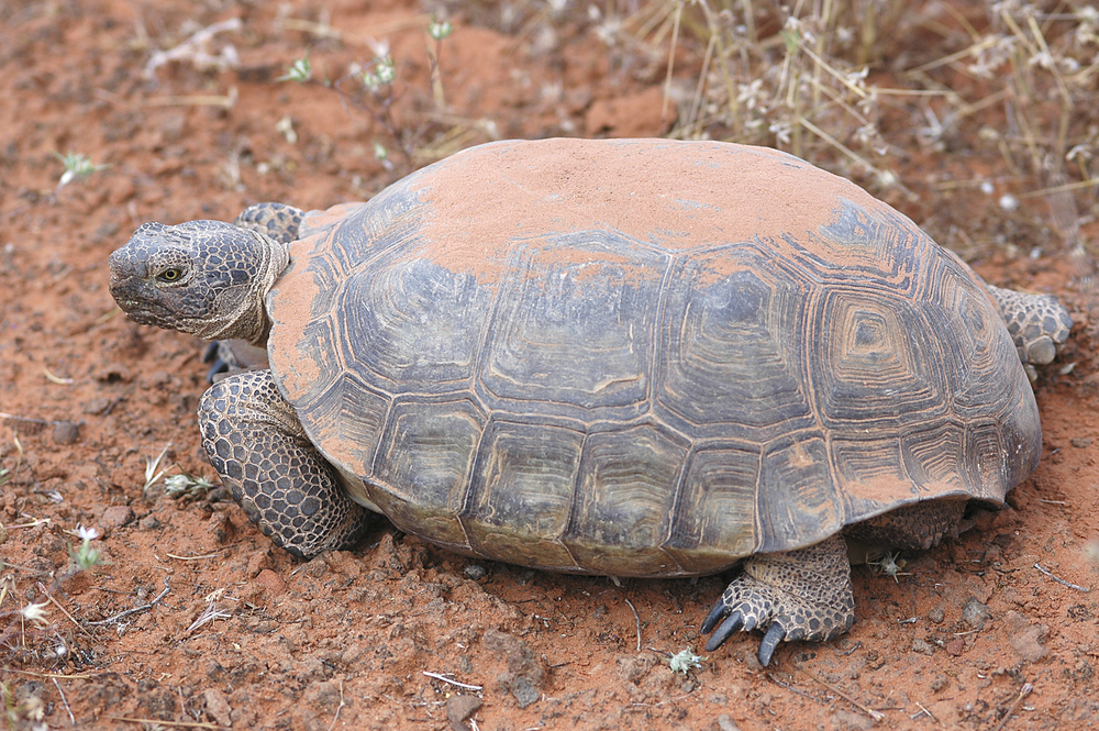 "Endangered tortoise used as justification to assault Nevada rancher's property rights. Image: 700 – 840 endangered tortoises face BLM euthanization ""because that's the sensible thing to do."""