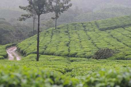 Kadamane (Kadumane) Tea Estate in the Malnad (Malenadu) Region, Karnataka, India
