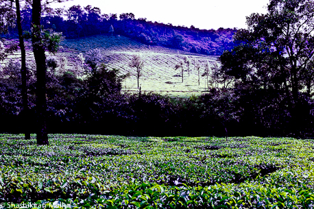 Kadumane Tea Estate in January