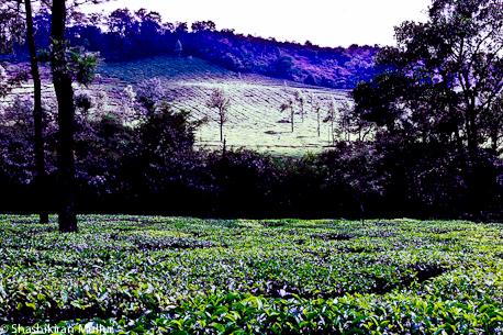 Kadumane Tea Estate in January