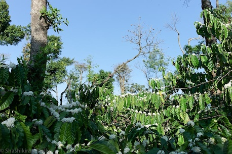 Coffee blossoms at Nandi Thota