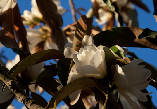 Levant Street Magnolia