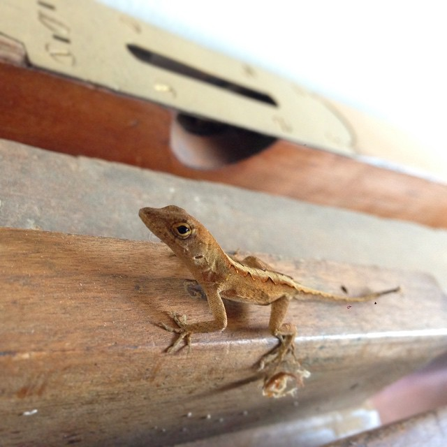 I came in this morning and this cool lizard was just cold lampin on one of my old molding planes. And a fine day to you as well, my good sir. #lizard #wizard