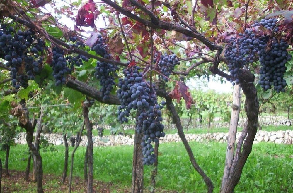 Bunches of Spigamonti grape - photocourtesy of ClaudioOliboni