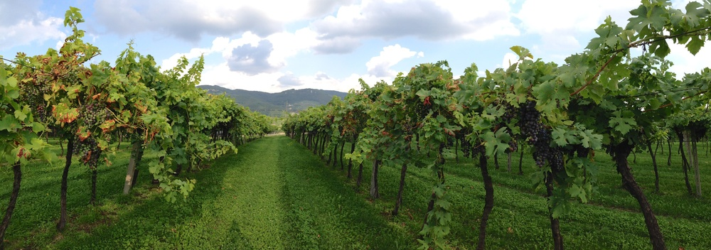 Preparing for the harvest 2014: an old vineyard in Jago cru, near Negrar, Valpolicella