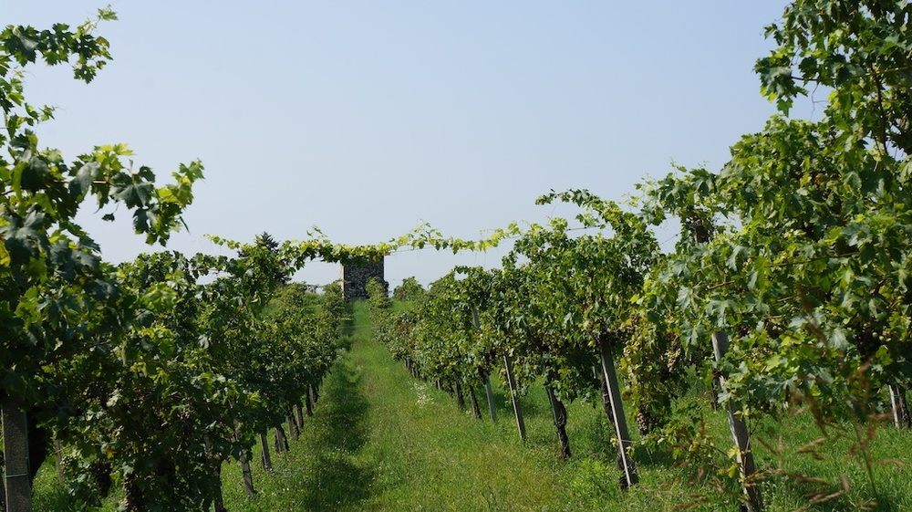 Zanoni's vineyards, near Quinzano