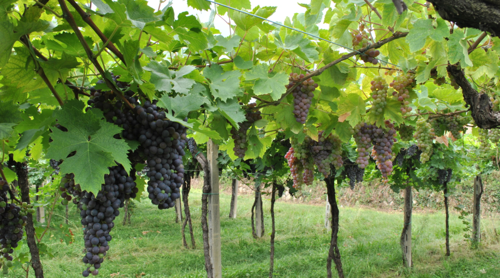 Corvina and Molinara grapes still under veraison - photo courtesy of Claudio Oliboni