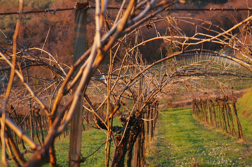 Pergola vines at the end of 2013-2014 wintertime, at the Massimago cru
