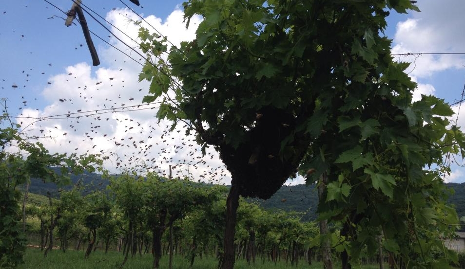 Bees in a Tenuta Chevalier vineyard