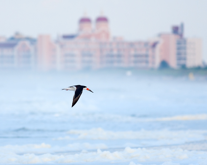 A Black Skimmer soars over the choppy sea at Nickerson Beach with the colorful Long Beach hotel in the distance.