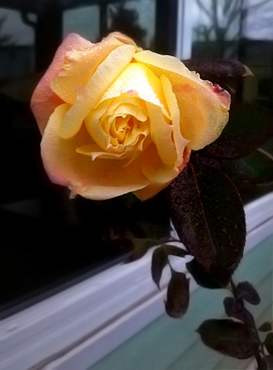 rose_for_newtown_dec_2012.jpg