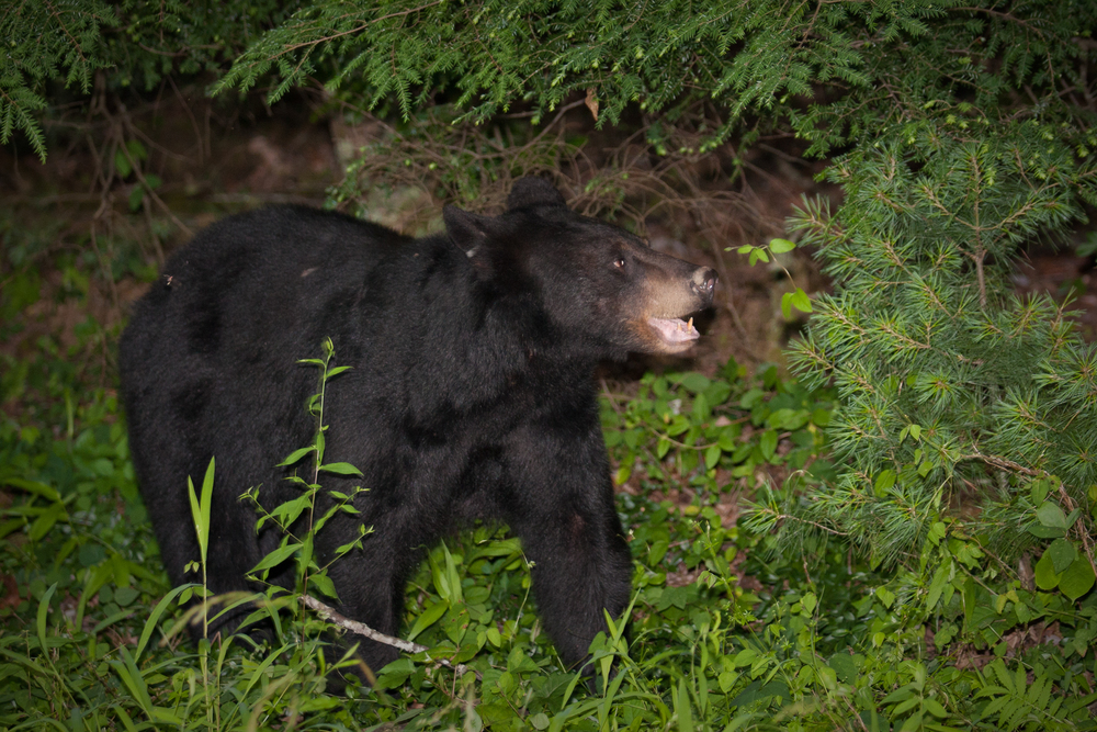 2009_06_17_nature00977Black_Bear_GreatSmokies.jpg
