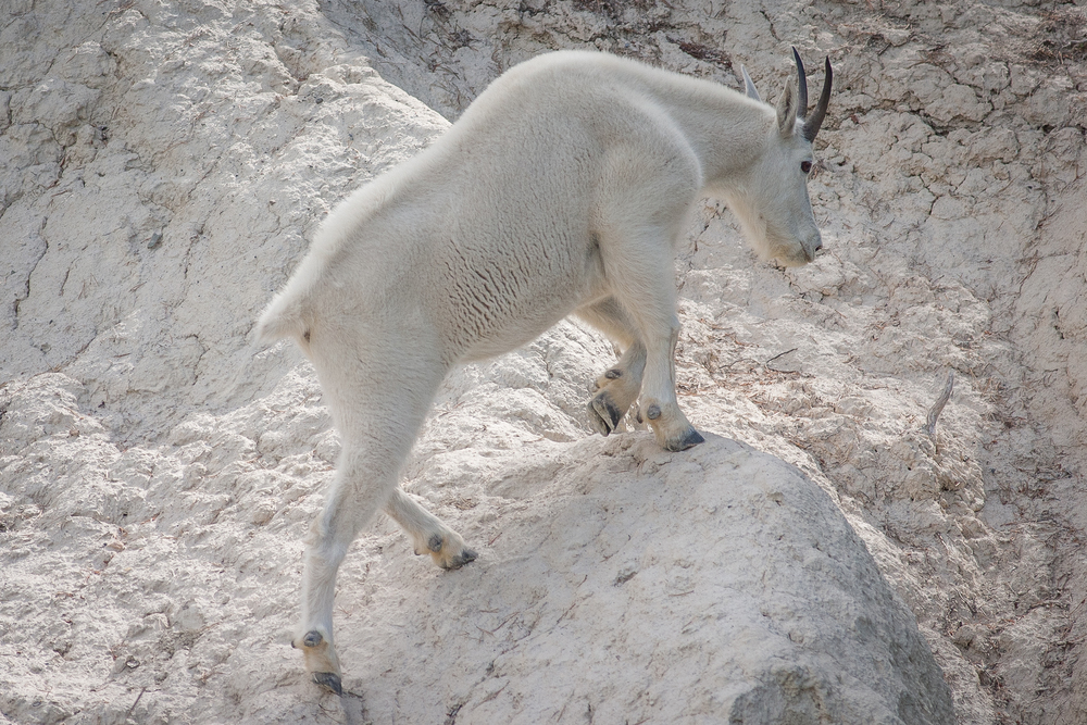 salt_lick_mountain_goat.jpg