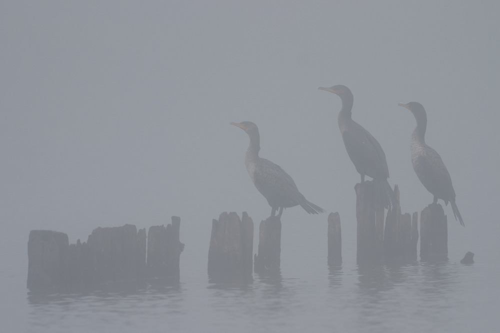 Three Cormorants on a foggy morning in Jamaica Bay, NY.