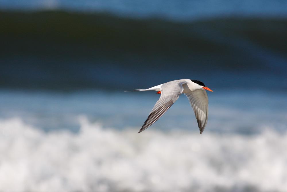 tern_over_ocean.jpg