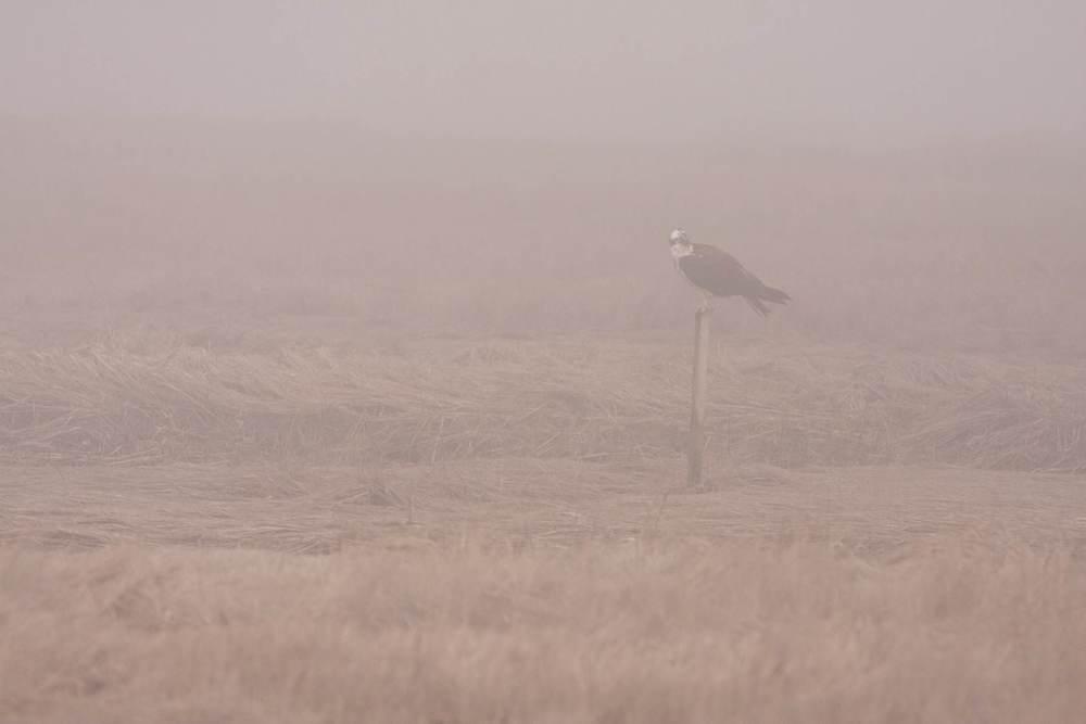Osprey_in_Fog.jpg