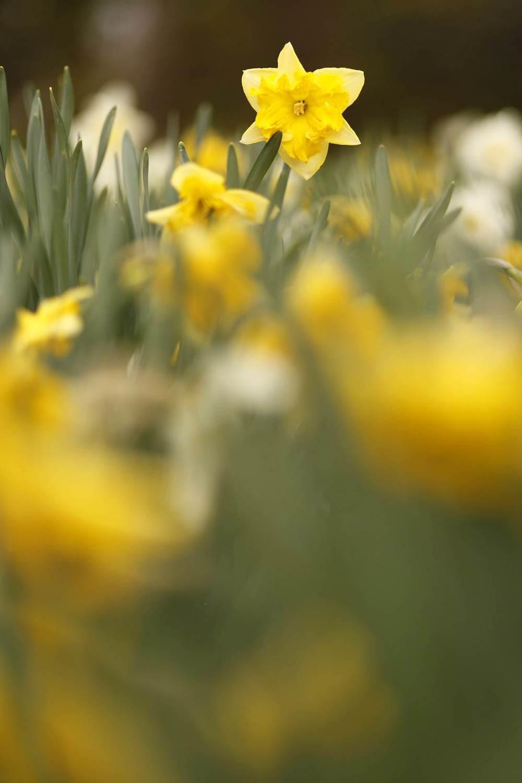 daffodils_Apr_13.jpg
