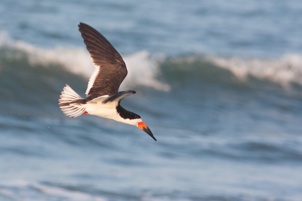 black_skimmer_nickerson_beach.jpg