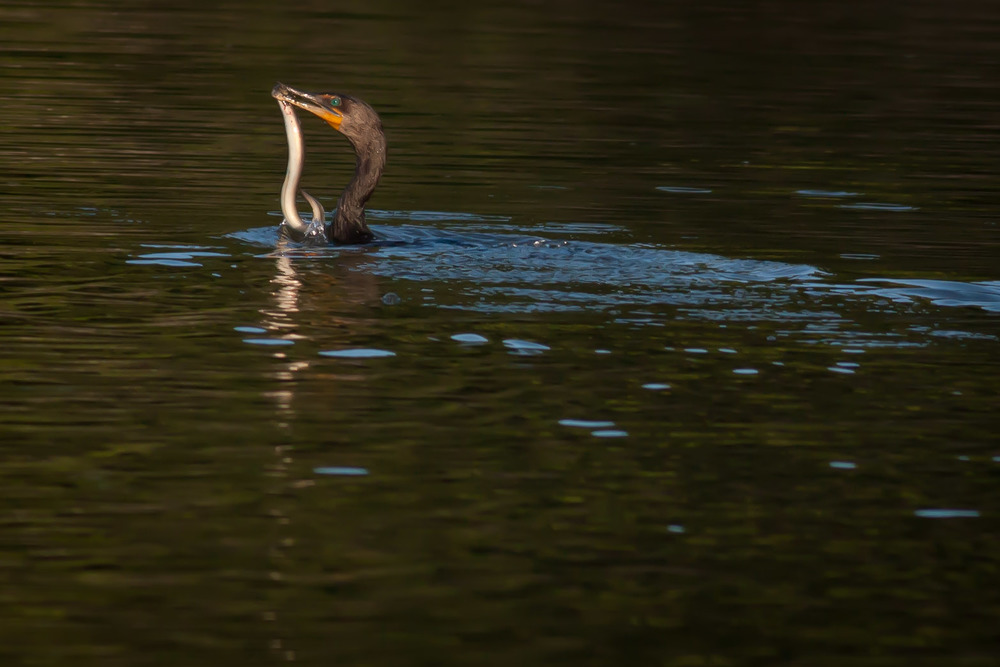 A Cormorant with a big catch in the brackish marsh waters of Sunken Meadow State Park.