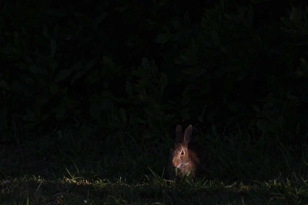 A single ray of sunshine peaks through the brush and shade, illuminating a cottontail rabbit.