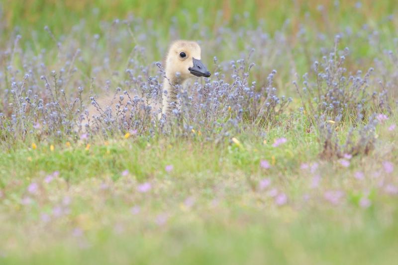 baby_goose_in_spring_wild_flowers.jpg