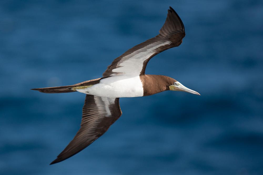 brown_boobie_wingspan.jpg