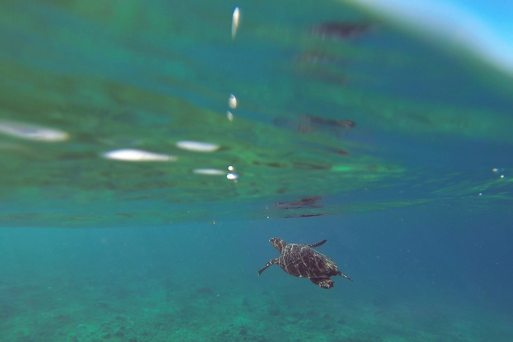 The Green Turtle ascends towards the surface to take a breath of air.