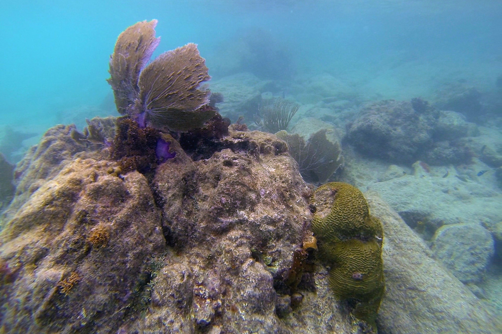 On top is the Common Sea Fan, with the yellow Grooved Brain Coral on the right side of the image.
