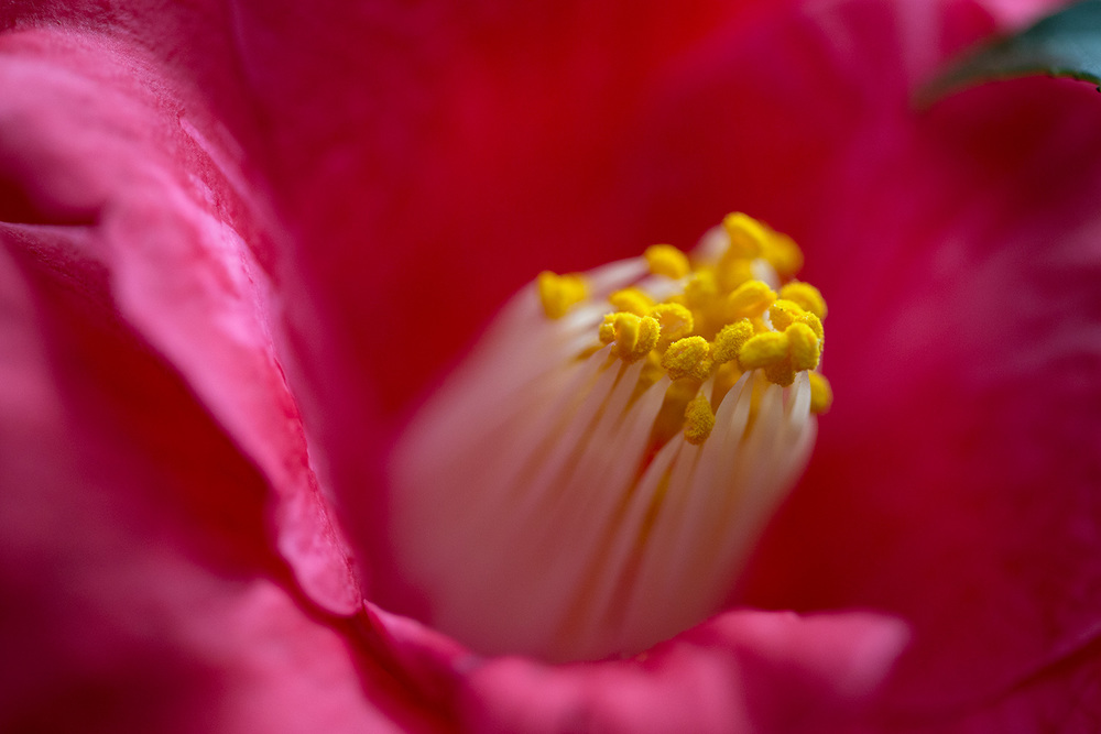 camellia_closeup.jpg