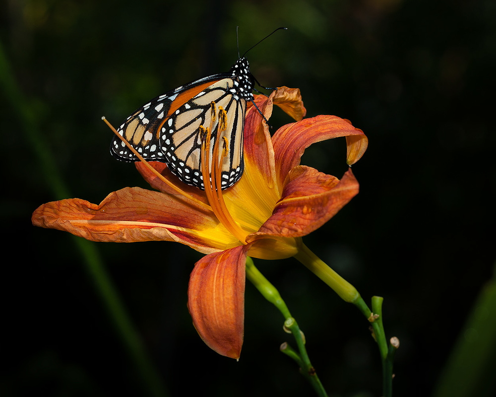 8_lily_butterfly.jpg
