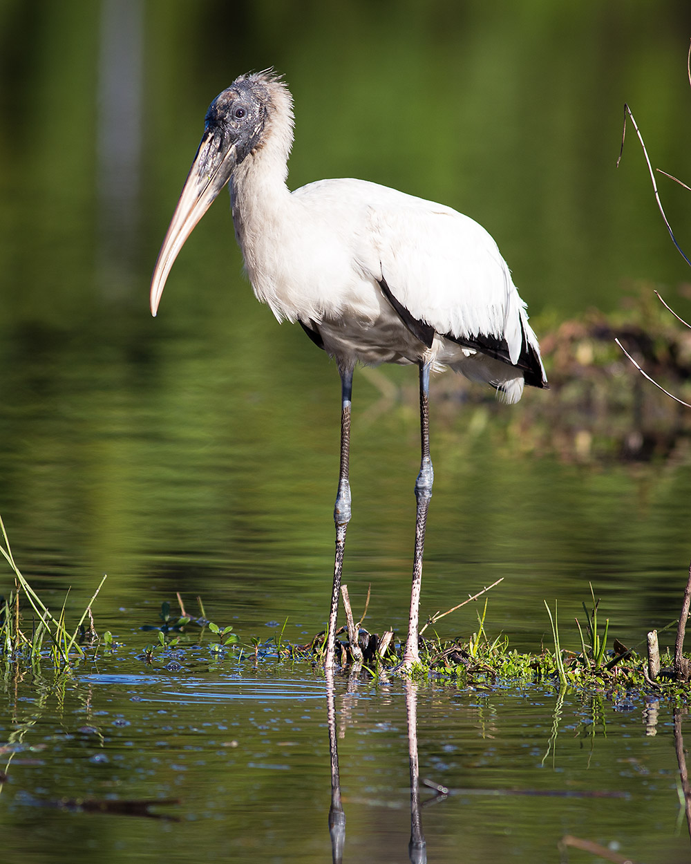 Juvenile Stork