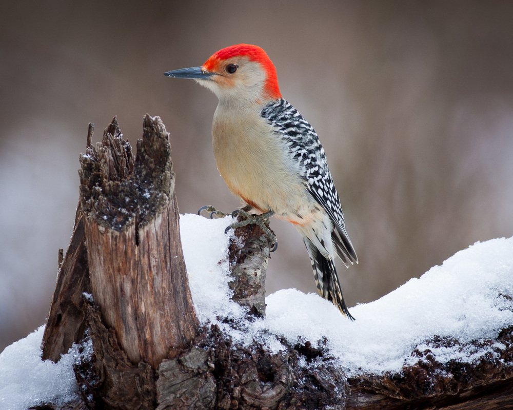 Red-bellied Woodpecker in Snow — Private Photography ...