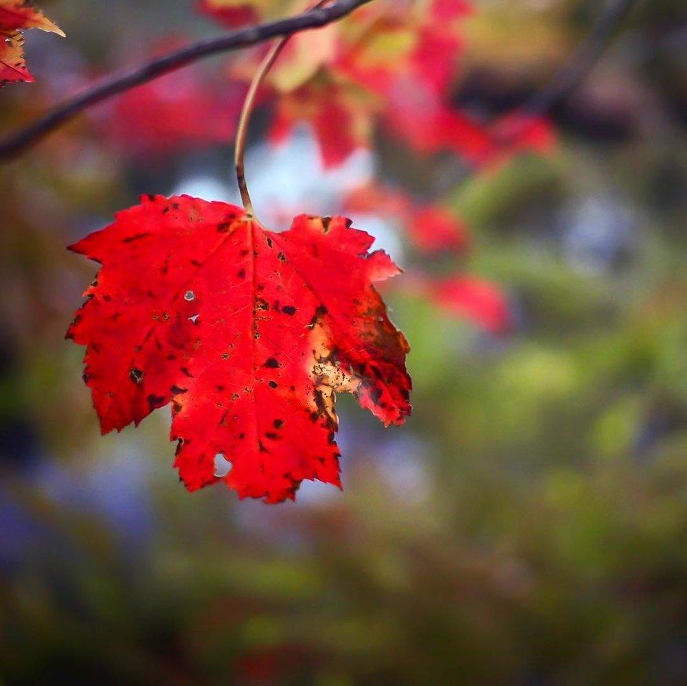 Autumn-Leaf-Red.jpg