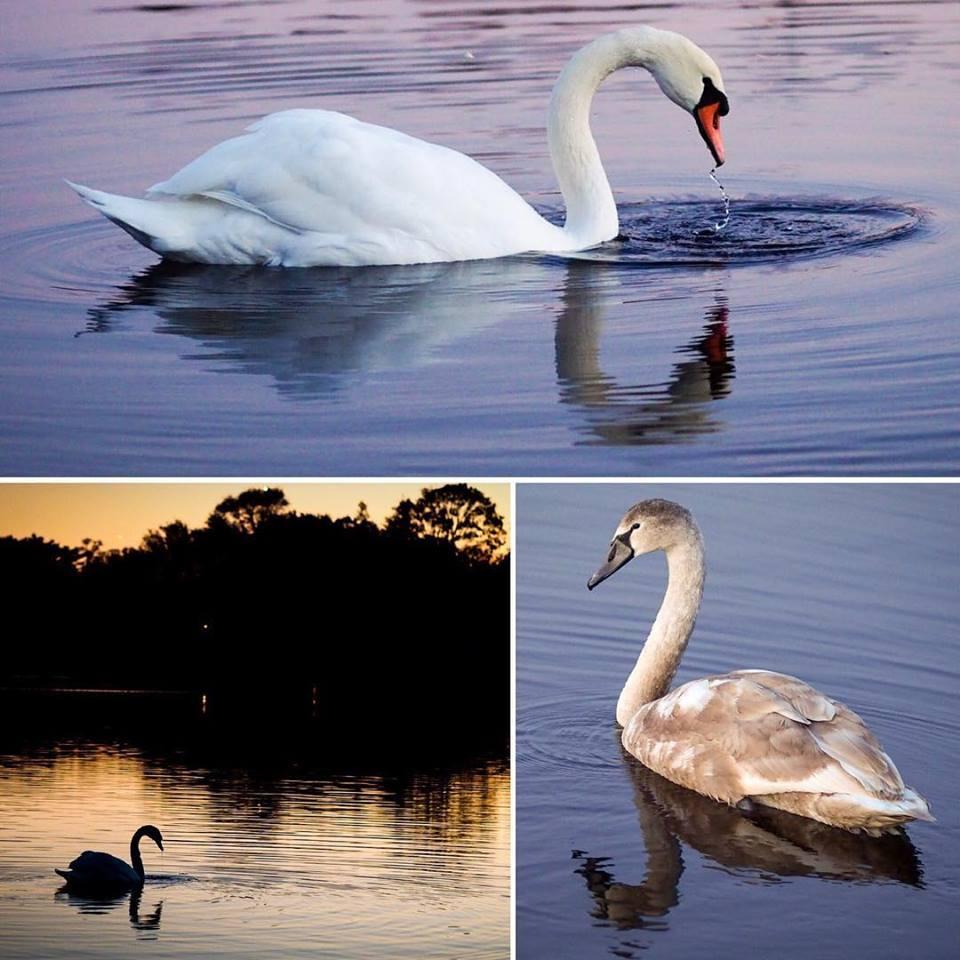 swan-song.jpg