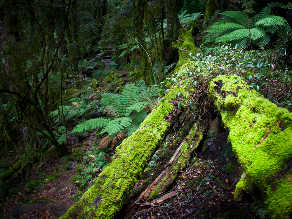 Moss covered fallen tree along the path