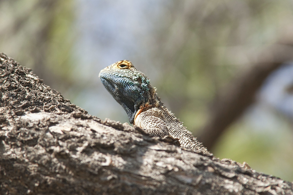 Lizard in the tree