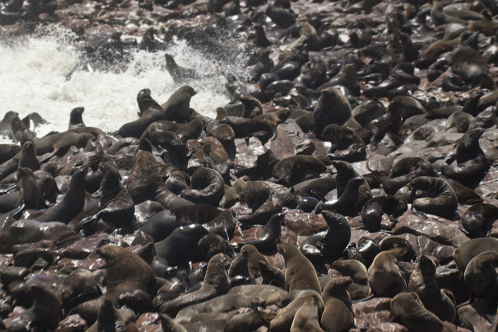 Female and Male seals crowding the beach