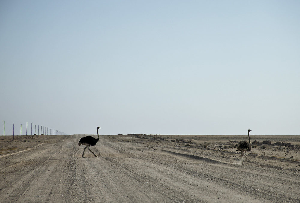 Ostrich crossing the road.