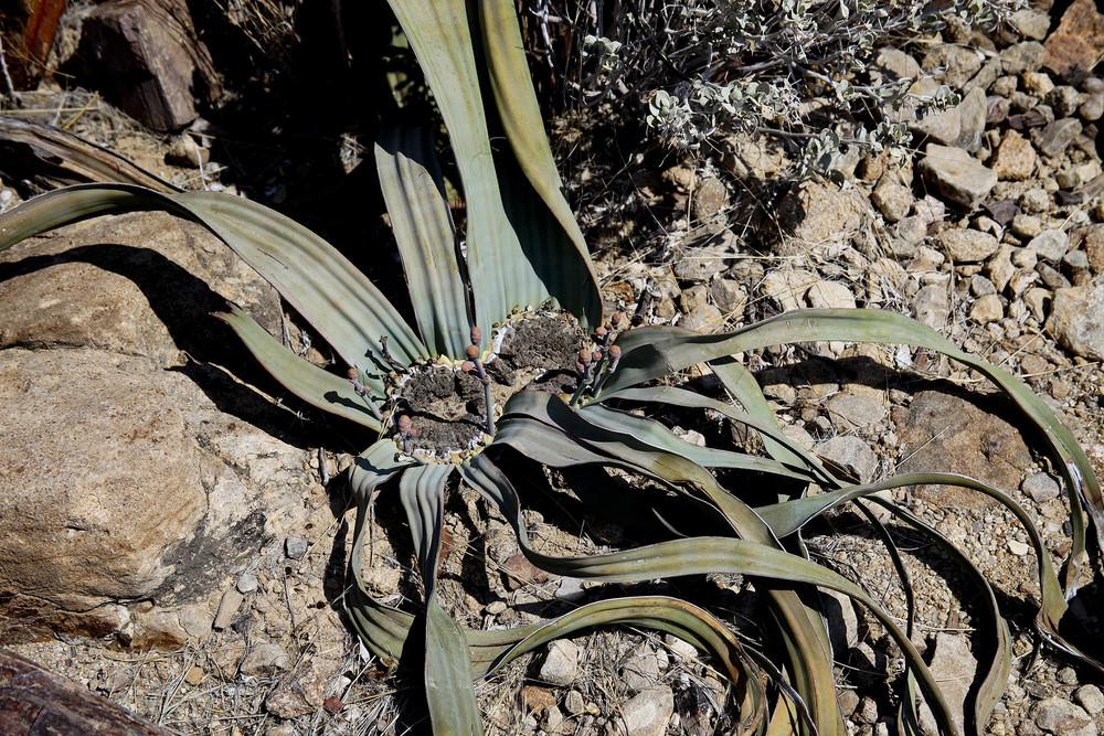 Welwtischia plant