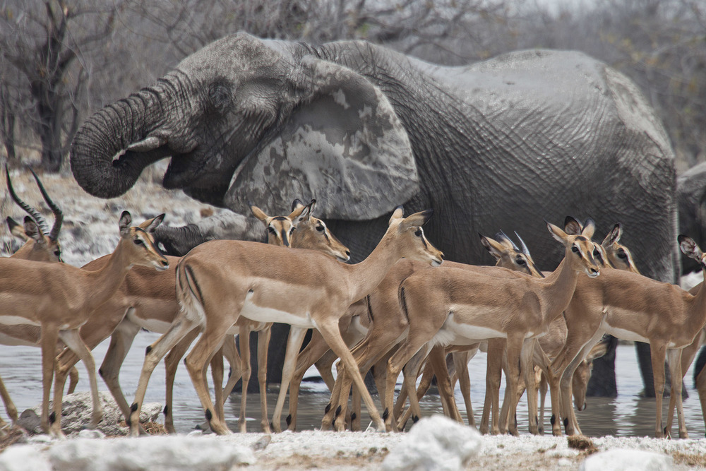 Elephant & Springboks