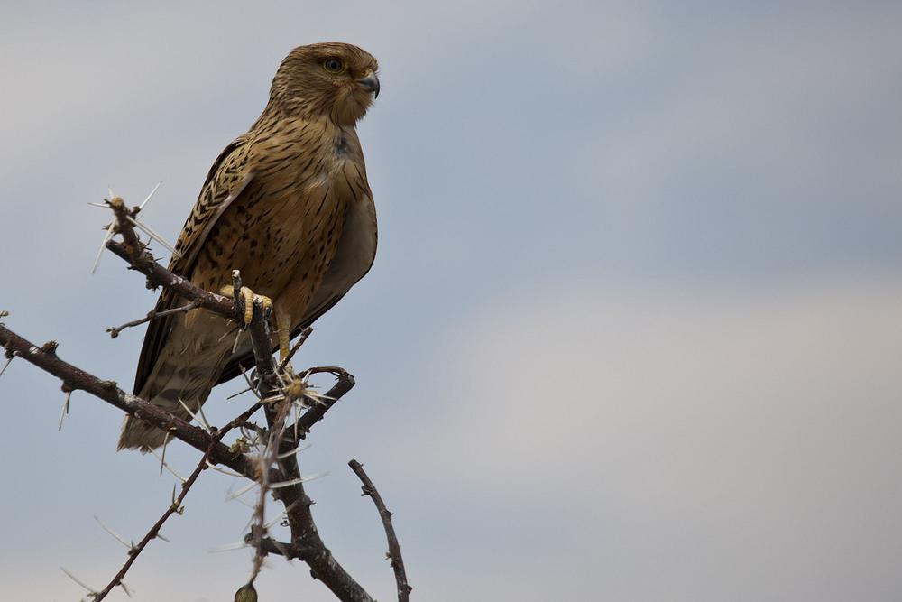 Wahliberg's Eagle